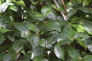 Psychotria hoffmannseggiana (Willd. ex Roem. & Schult.) Müll. Arg.