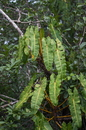 Philodendron billietiae Croat