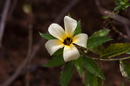 Turnera subulata Sm.