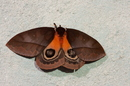 Automeris larra (Walker, 1855)