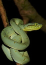 Bothrops bilineatus