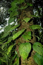 Clidemia epiphytica (Triana) Cogn.