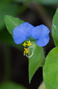 Commelina erecta L.