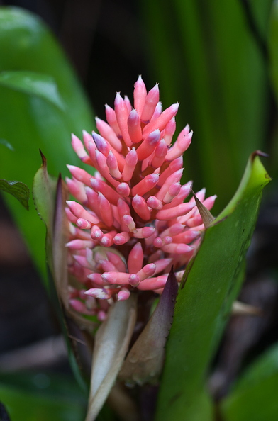 Aechmea melinonii Hook.