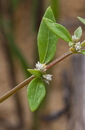 Alternanthera sessilis