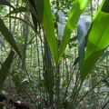 <i>Cyclanthus bipartitus</i> Poit.||<img src=./_datas/7/j/l/7jlks0o8hr/i/uploads/7/j/l/7jlks0o8hr//2012/08/12/20120812184751-97308a9b-th.jpg>