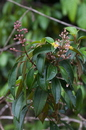 Miconia mirabilis (Aubl.) L. O. Williams