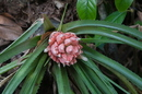 Aechmea longifolia (Rudge) L.B. Sm. & M.A. Spencer