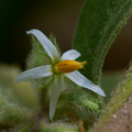 <i>Solanum jamaicense</i> Mill.||<img src=./_datas/7/j/l/7jlks0o8hr/i/uploads/7/j/l/7jlks0o8hr//2014/04/07/20140407215633-6c06dfe8-th.jpg>