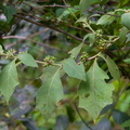 <i>Solanum jamaicense</i> Mill.||<img src=./_datas/7/j/l/7jlks0o8hr/i/uploads/7/j/l/7jlks0o8hr//2014/04/07/20140407215642-2fcc4d73-th.jpg>
