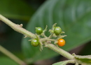 Solanum jamaicense Mill.