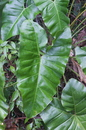 Philodendron solimoesense A. C. Sm.