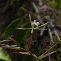 <i>Epidendrum purpurascens</i> H. Focke||<img src=./_datas/7/j/l/7jlks0o8hr/i/uploads/7/j/l/7jlks0o8hr//2015/03/15/20150315194001-95934818-th.jpg>