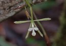 Epidendrum purpurascens H. Focke
