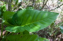 Philodendron fragrantissimum (Hook.) G. Don