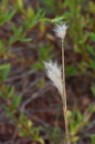Andropogon selloanus (Hack.) Hack.