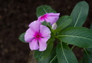 Catharanthus roseus (L.) G. Don.