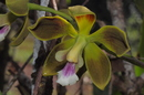 Encyclia pachyantha (Lindl.) Hoehne