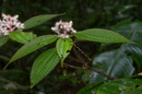 Miconia agrestis (Aubl.) Baill.