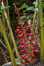Renealmia alpinia (Rottb.) Maas