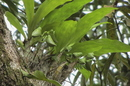 Catasetum macrocarpum Rich. ex Kunth