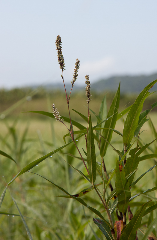 Polygonum-ferrugineum6.jpg