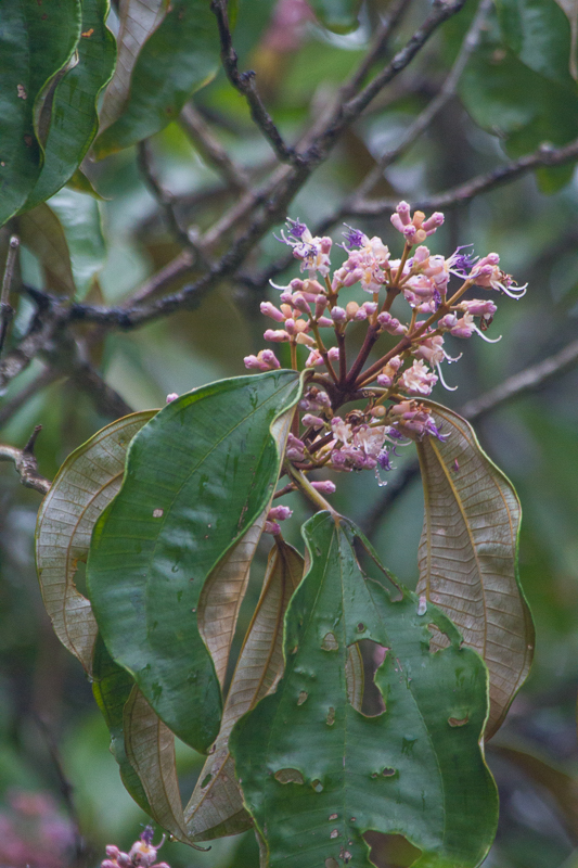 Miconia holosericea (L.) DC.